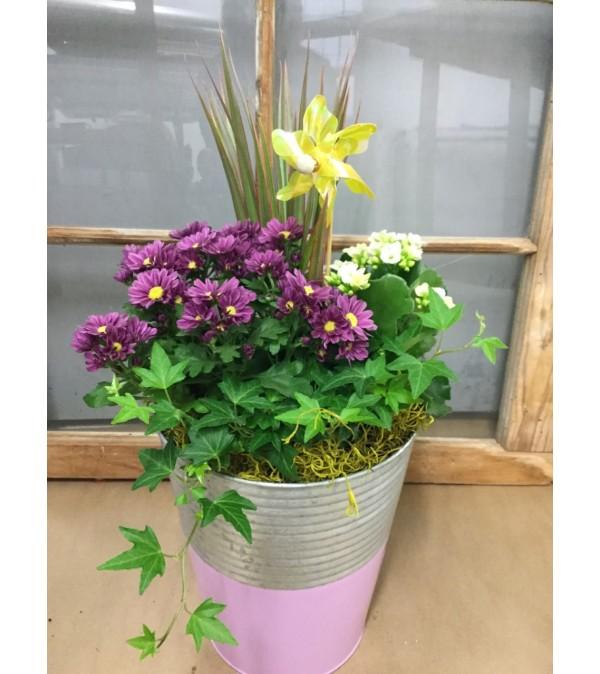 indooroutdoor mum garden - Garden Mum Indoor