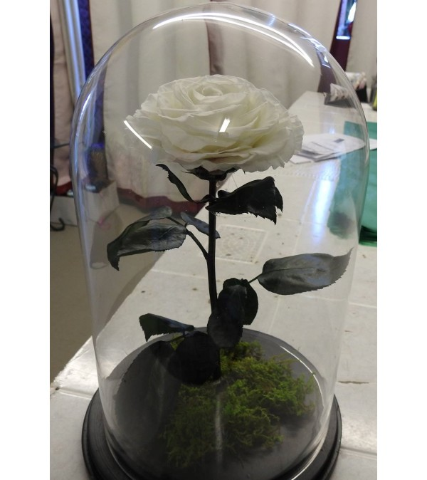ENCHANTED ROSE WHITE