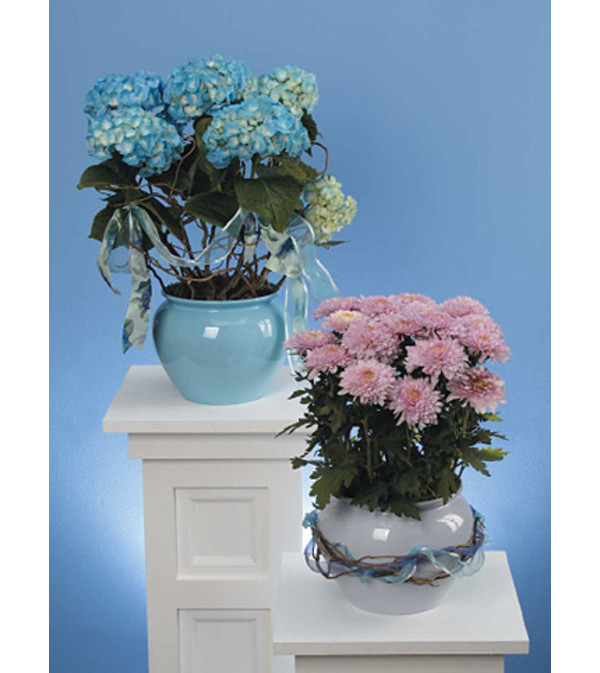 Blue Hydrangea in Decorative Pot