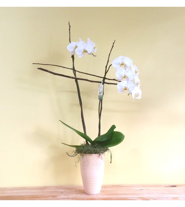 Double Spike White Phalaenopsis Orchid Plant