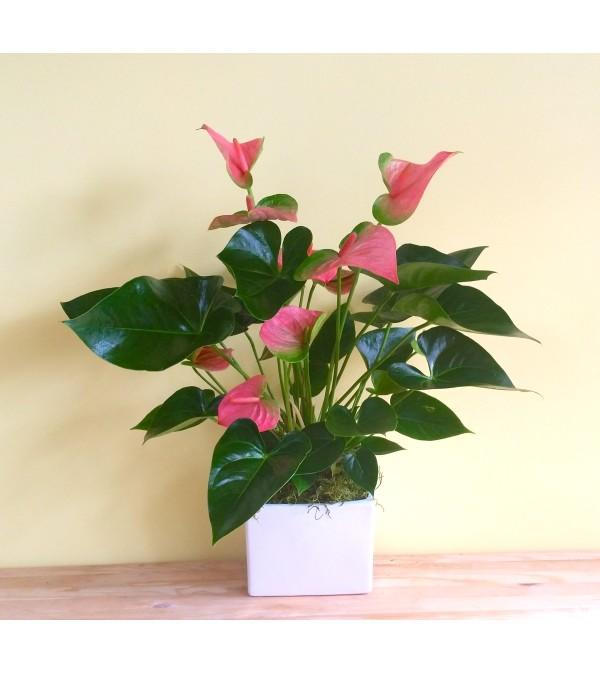 Pink Anthurium Plant