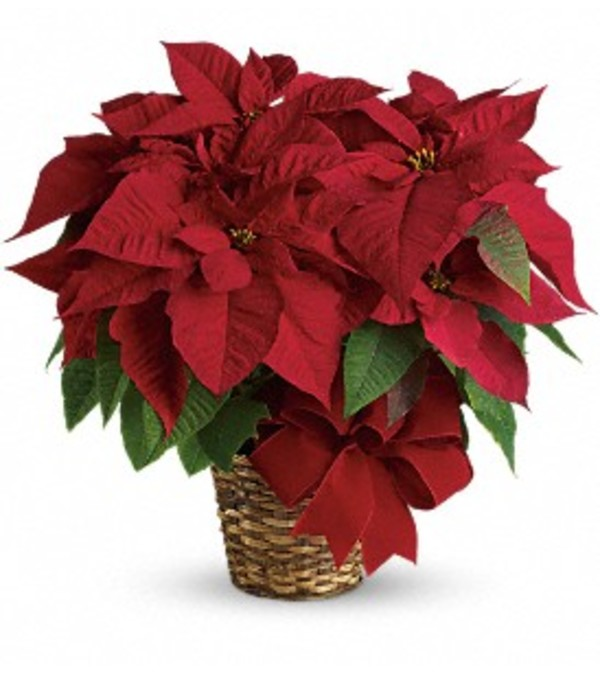 Ellington's Red Poinsettia