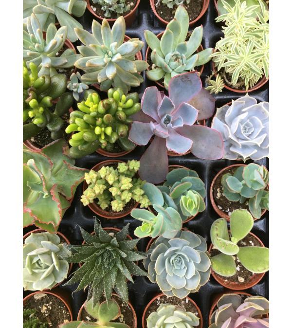 Crazy for Succulents