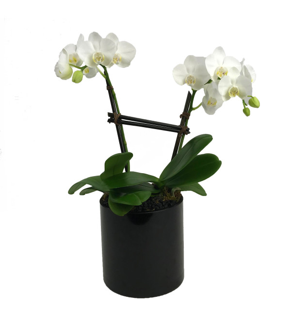 Mini Double Orchid