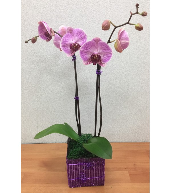 Double Spikes Phalaenopsis Plant