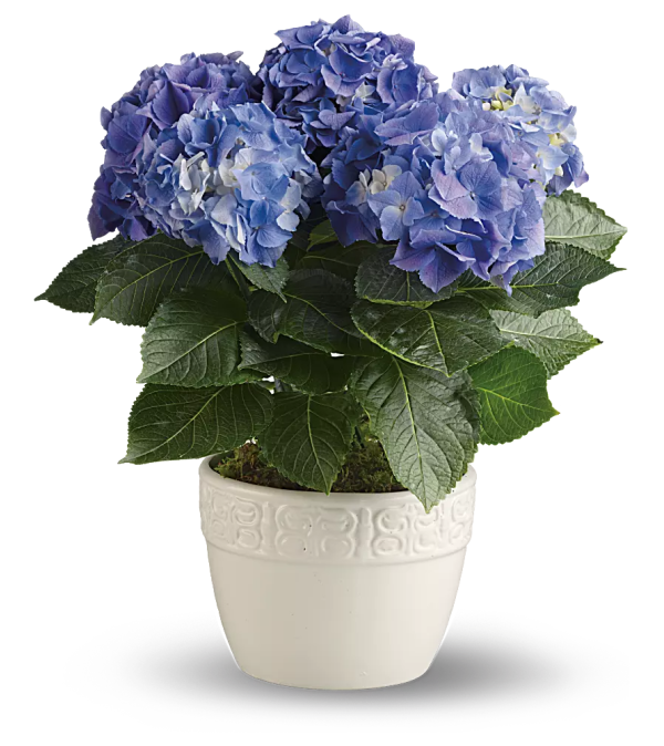 Beautiful blue hydrangea plant