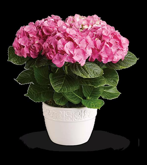 Beautiful pink hydrangea plant