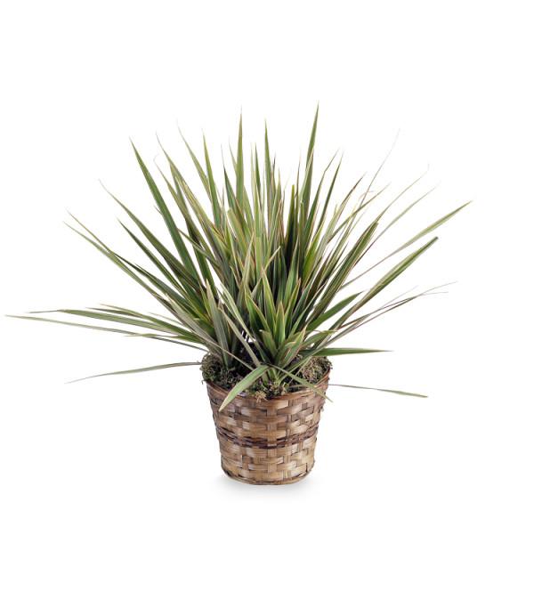 Dracaena Marginata Plant