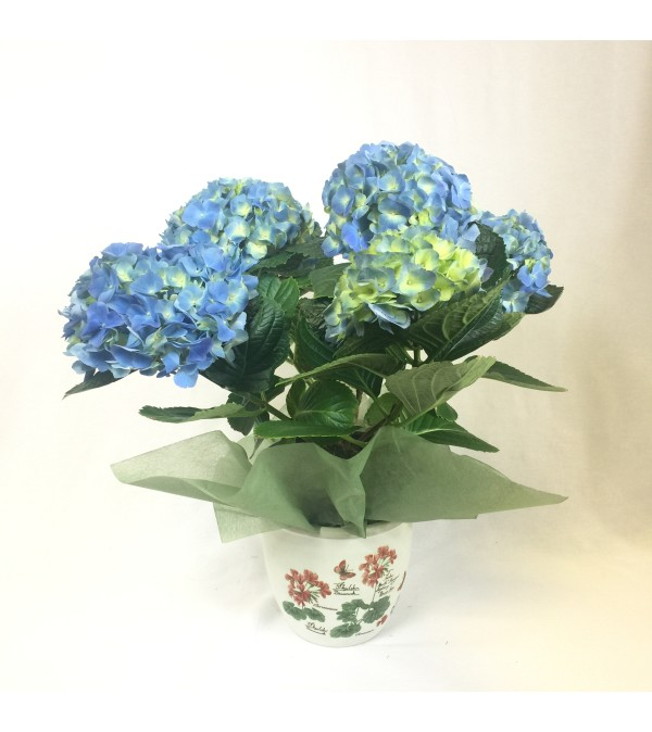 Beautiful Blooming Hydrangea