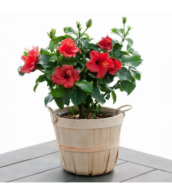 Hibiscus Plant Ottawa On Florist