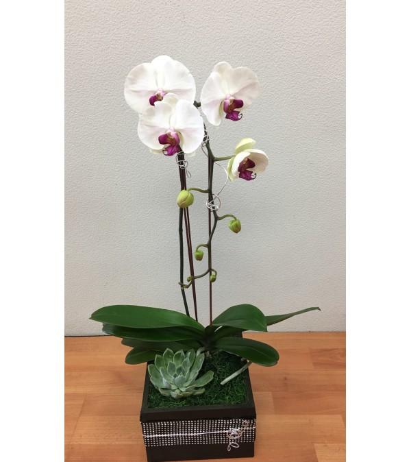 White Cascading Phalaenopsis Plant