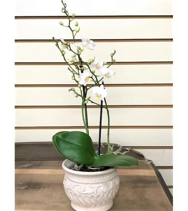 Petite Dendrobium Orchids