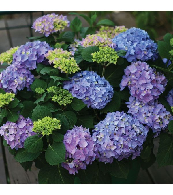 Potted Huge  Hydrangea Assorted