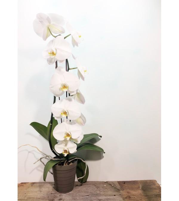 waterfall phalaenopsis orchid