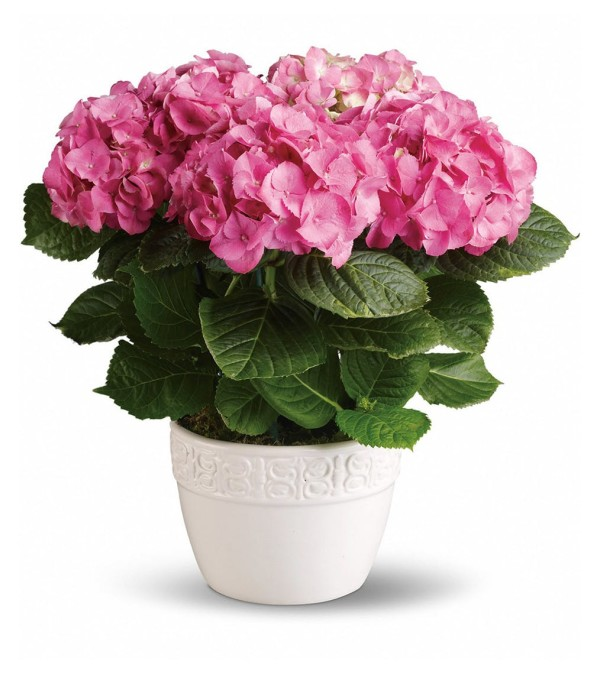 The Happy Hydrangea - Pink