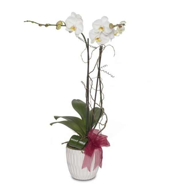 Opulent Blooming Orchid