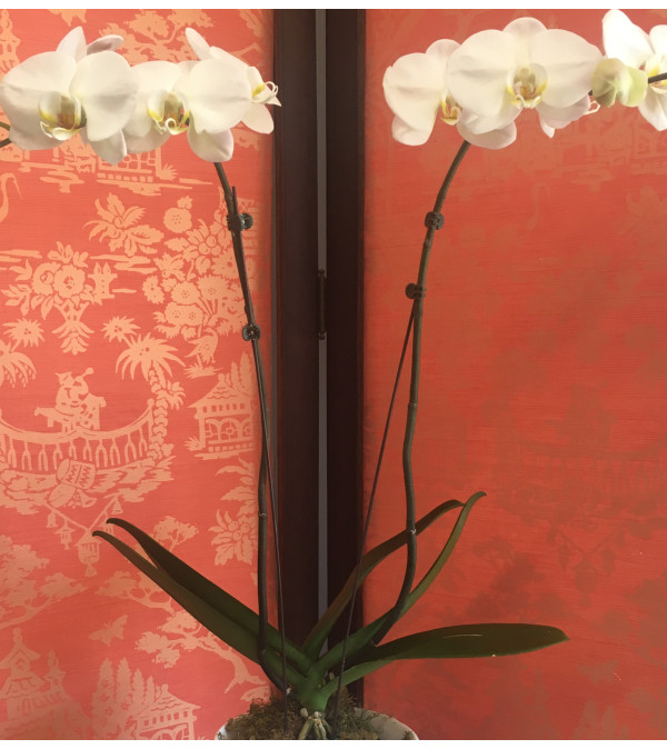 Double Stemmed Phalaenopsis