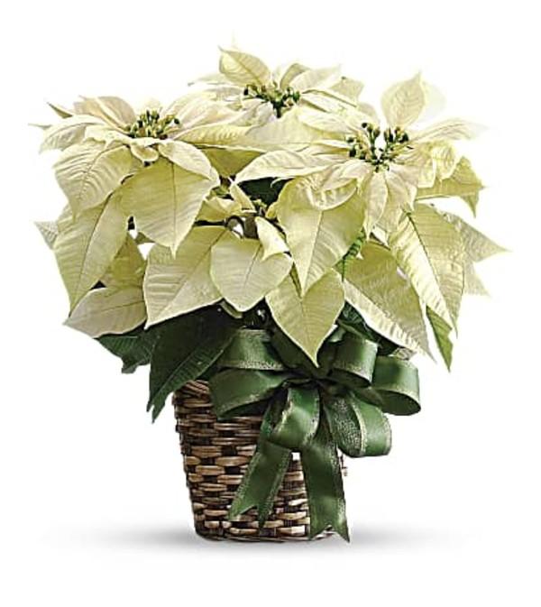 White Poinsettia T122-2