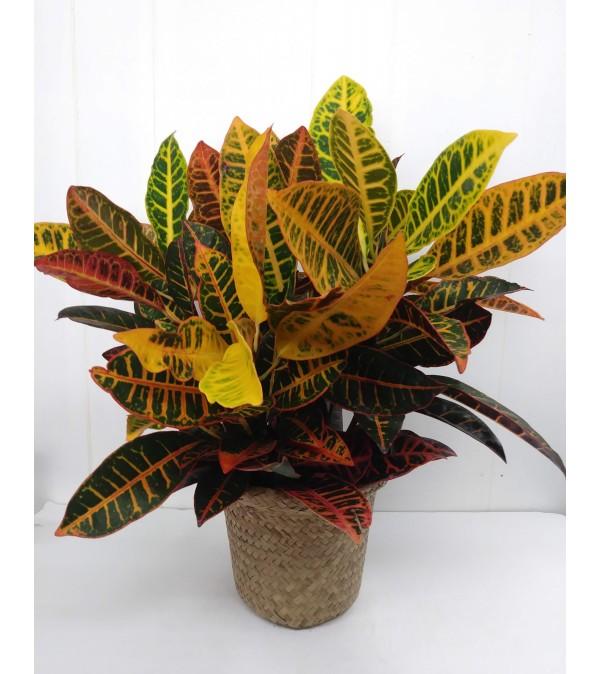 Croton Plant in basket