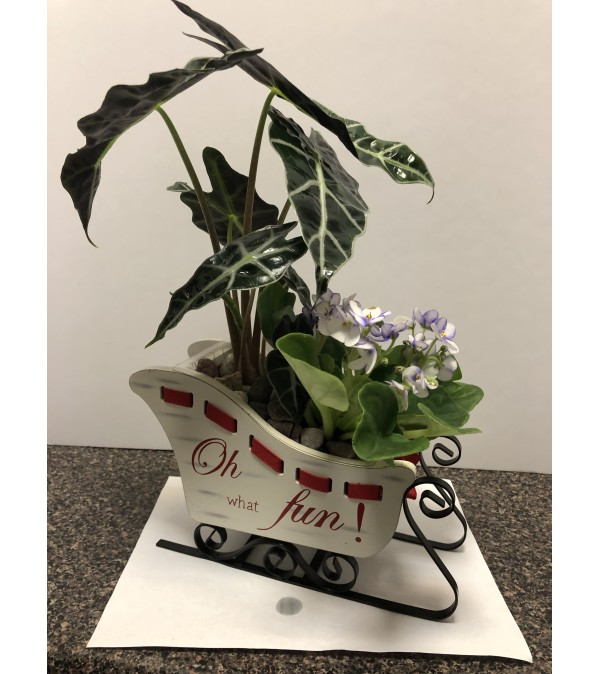 Christmas Sleigh with mix plants