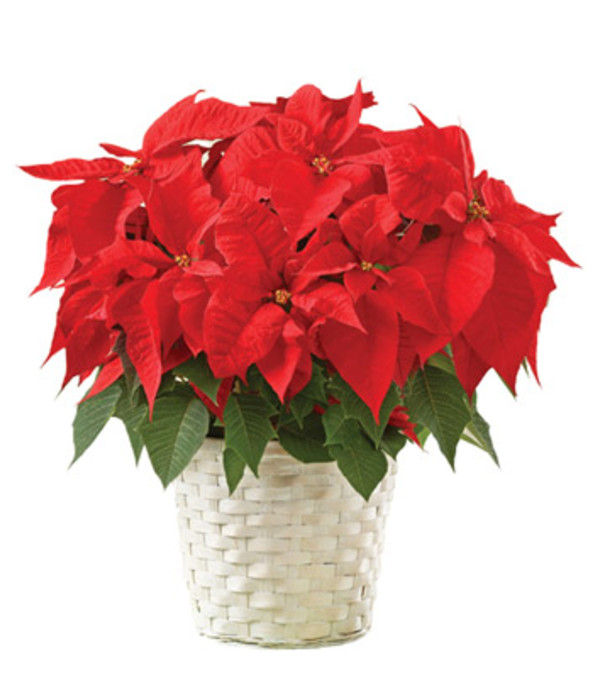 Vibrant Red Poinsettia Flowering Plant