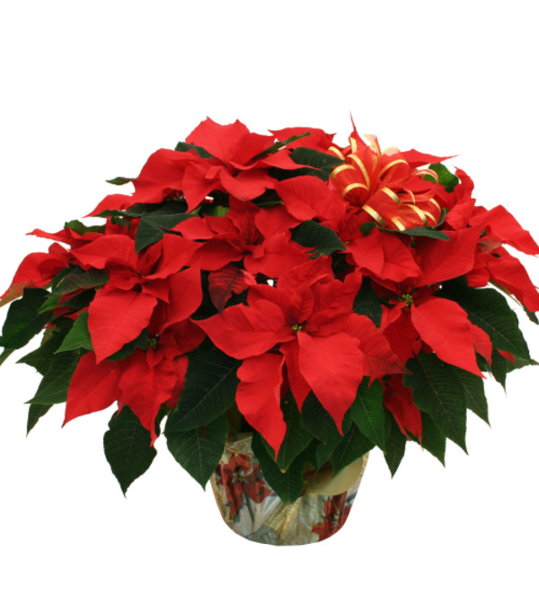 Large Red Pointsettia
