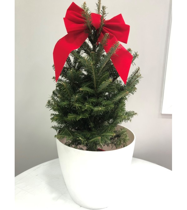 LIVE 4FT FRASER FIR CHRISTMAS TREE IN WHITE EVA PLANTER
