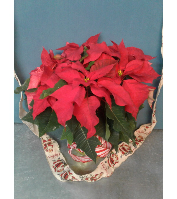 Red Christmas Baby Poinsettia