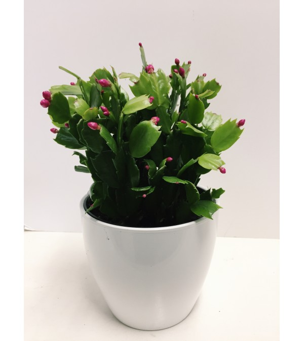 Christmas Cactus in Ceramic