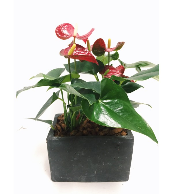 Amazing Anthurium Planter