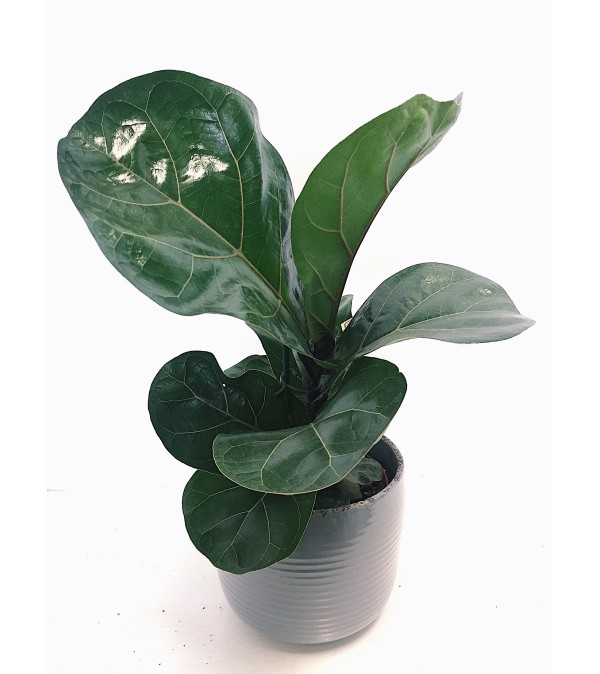 Fantastic Fiddle Leaf Fig in Ceramic