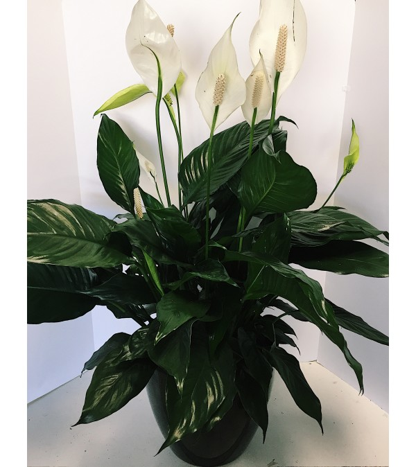 Peaceful Peace Lily in Ceramic