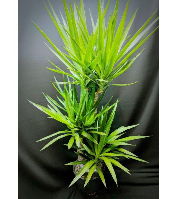 Yukka plant 8''