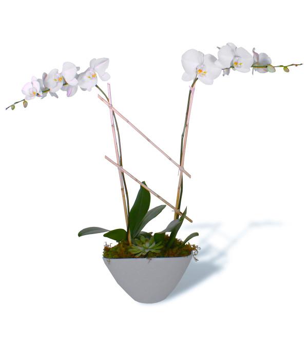 Alabaster Orchids 2019