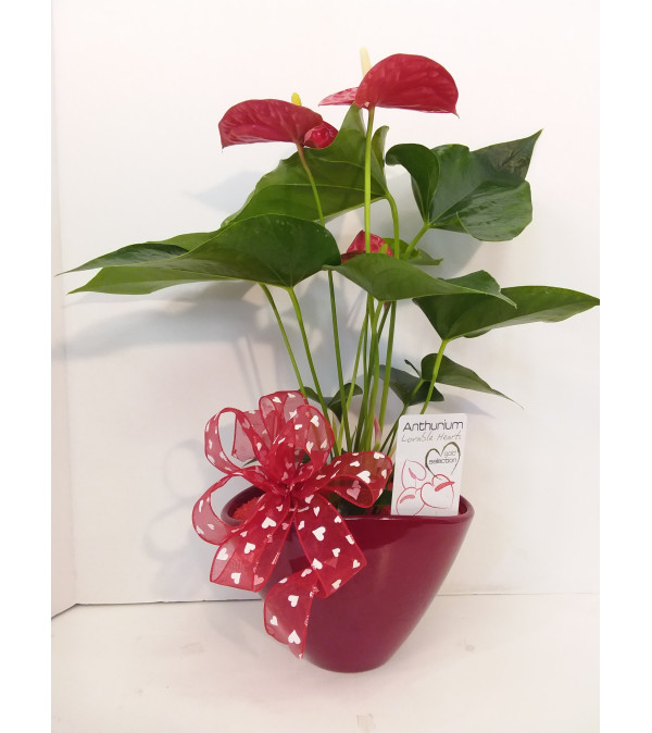 Premium Collection Anthurium