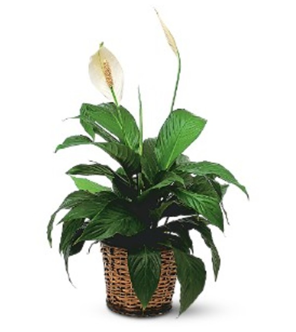 Elegant Peace Lily Plant
