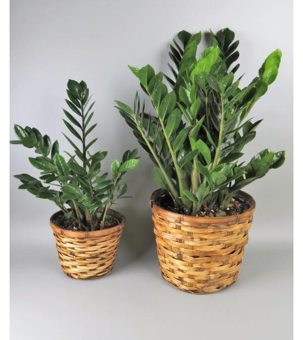 Z Z Plant