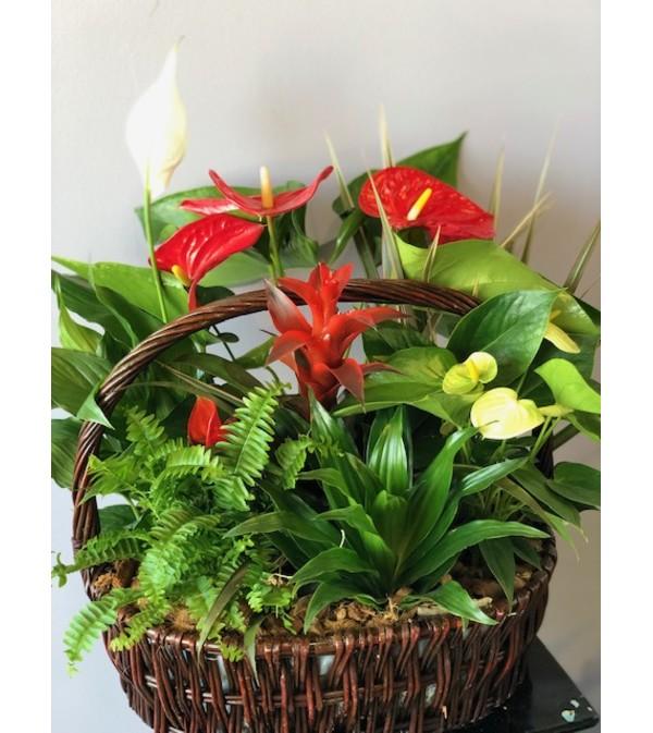 Anthurium basket Plant