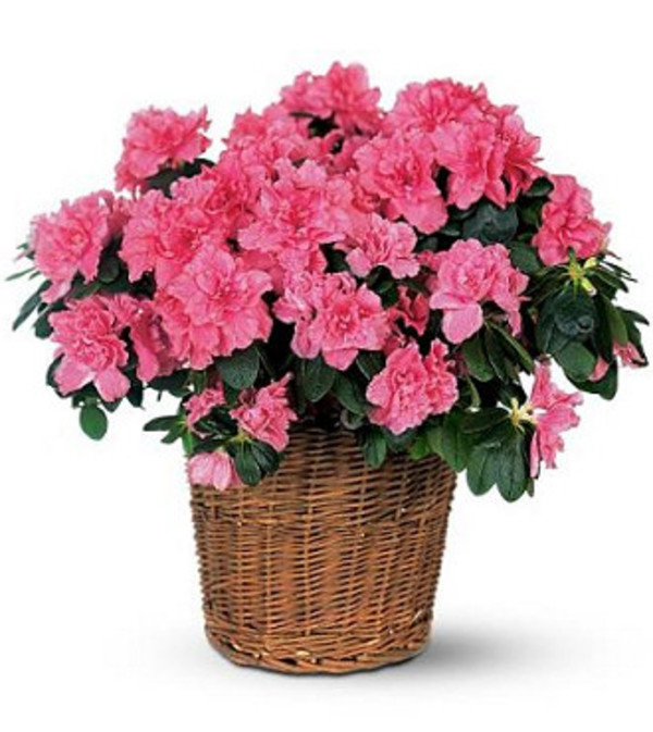 Ellington's Azalea in a Basket (Colors Vary)