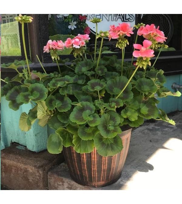 """12"""" Patio Pot - Geranium"""