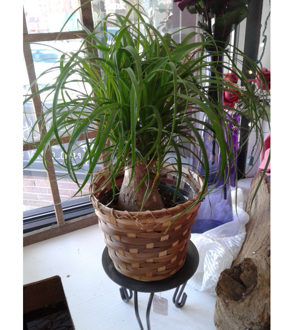 Ponytail Palm Plant