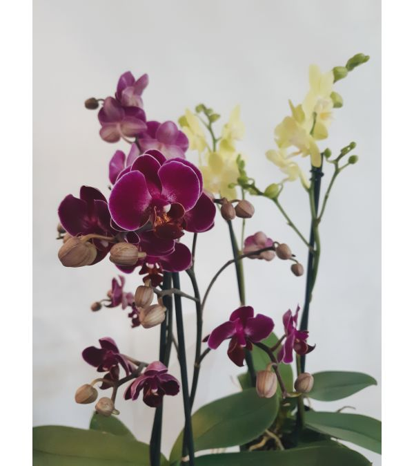Summertime Orchids