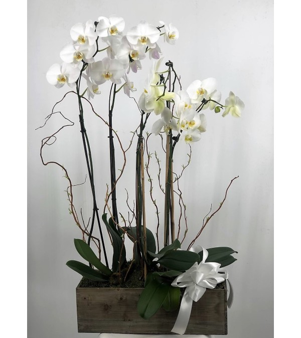 Peaceful Orchids