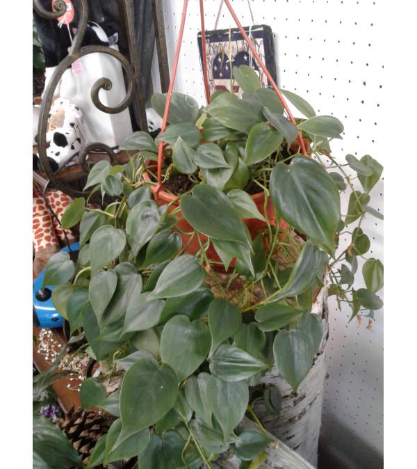 """Heart Leaf Philadendron 6"""""""