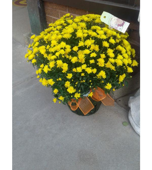 """8"""" Yellow Mum Plant"""