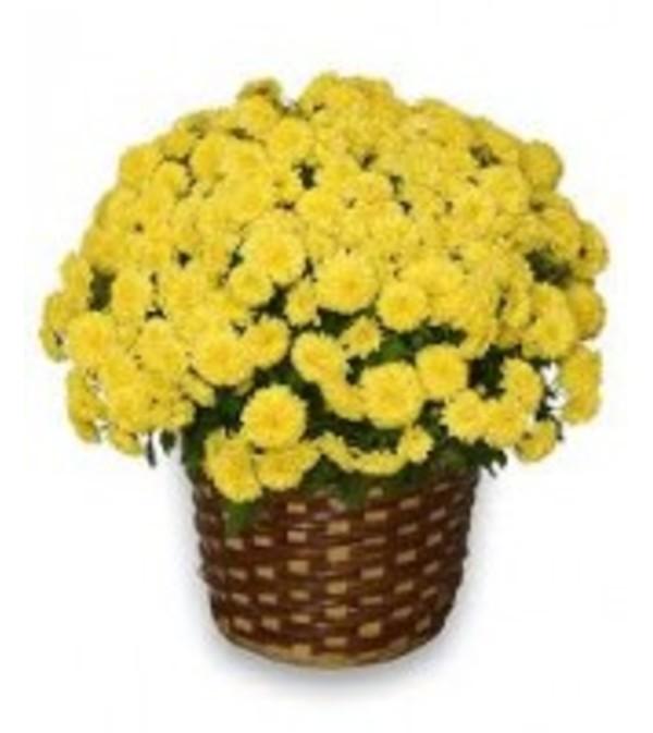 Sunshine Mum Plant