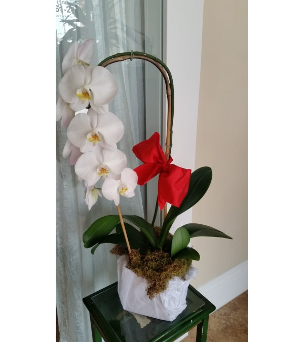 Orchid Christmas Wrapped