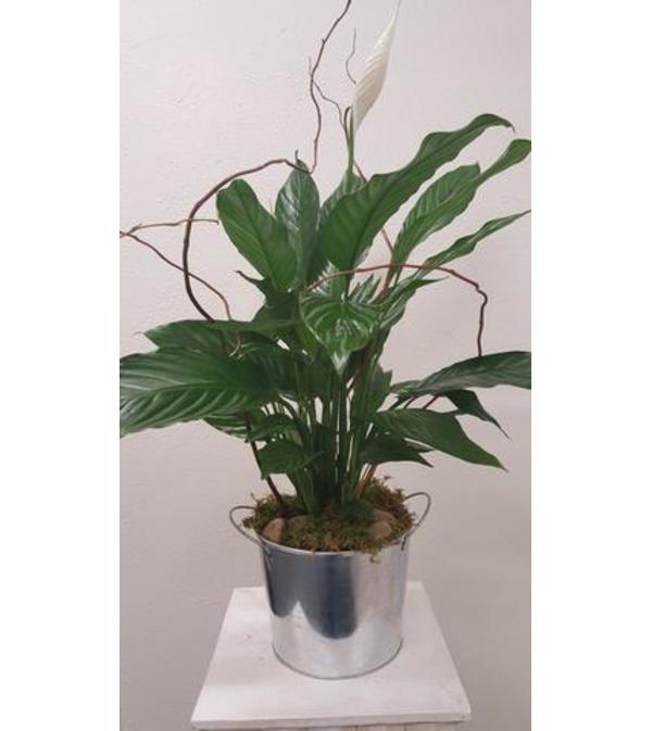 Peace Lily in a Tin