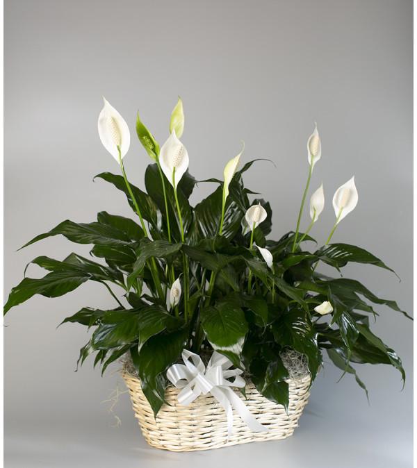 Peace Lilies-Double Basket