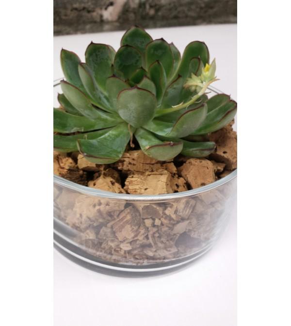 Succulent Dish